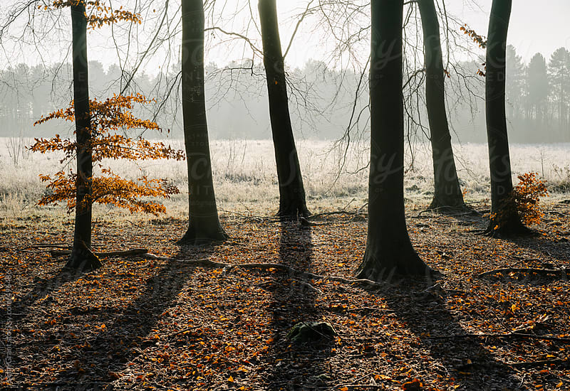 Sunrise and shadows in a Beech woodland in winter.  by Liam Grant for Stocksy United