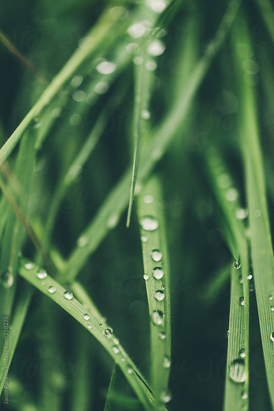 grass with drops after rain by Javier Pardina for Stocksy United