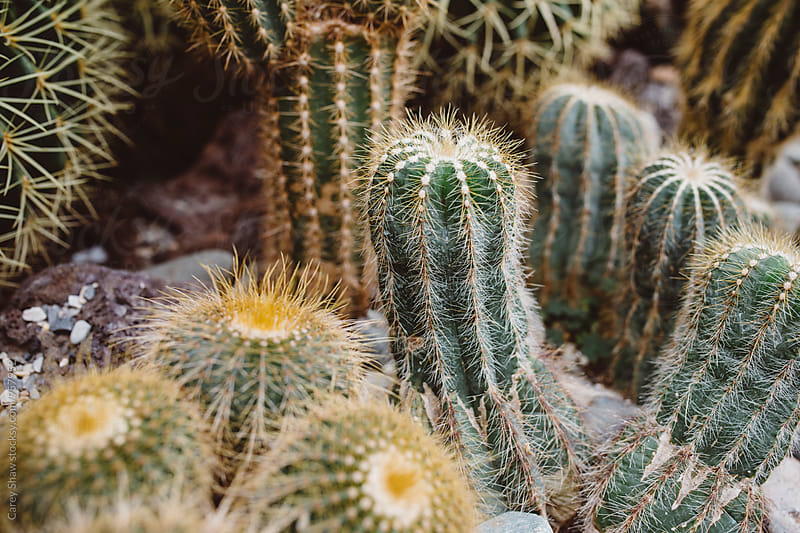 Variety of planted cactus by Carey Shaw for Stocksy United