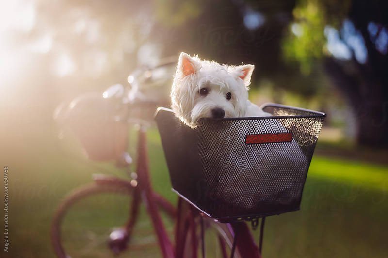 White dog sitting in a bicycle basket waiting for a ride by Angela Lumsden for Stocksy United