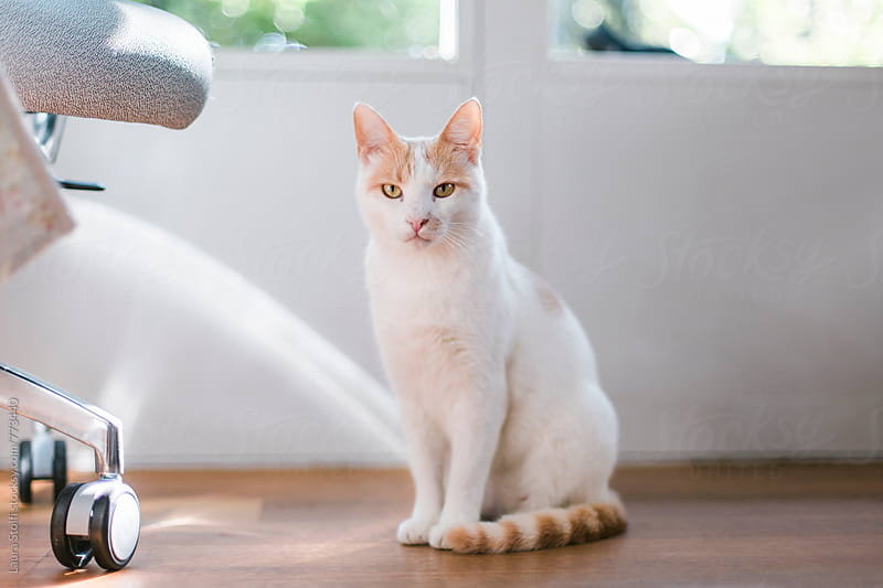 White and ginger cat sits close to office chair and looks straight at the camera by Laura Stolfi for Stocksy United