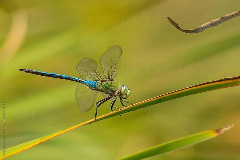 Dragonfly by craig ferguson for Stocksy United