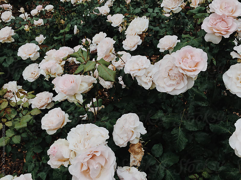 pink roses in a garden by KATIE + JOE for Stocksy United