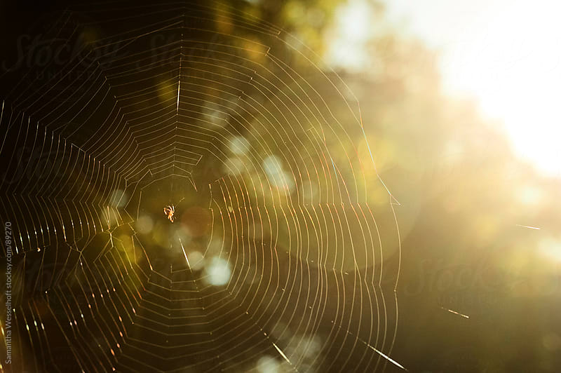 spider in the sun by Samantha Wesselhoft for Stocksy United