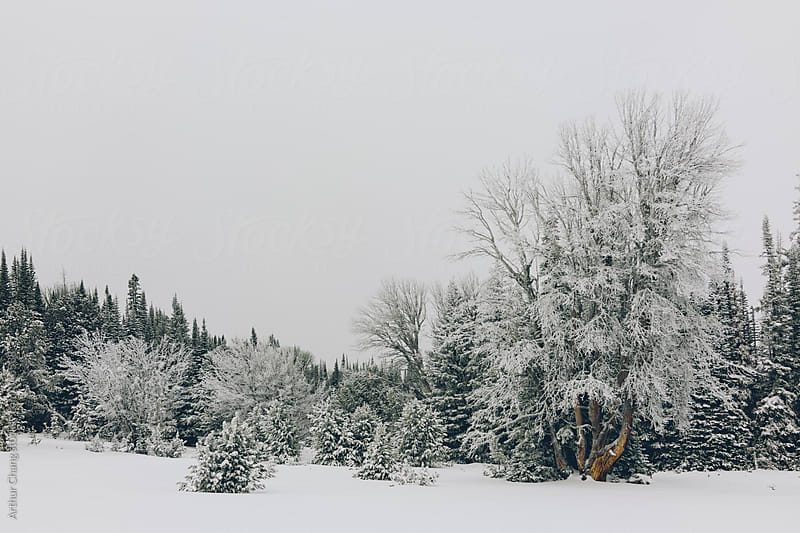 Trees in the snow by Arthur Chang for Stocksy United