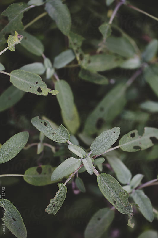 Overhead shot of sage leaves on the bush in winter by Laura Stolfi for Stocksy United