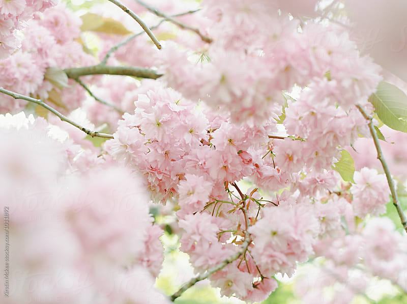 pink cherry blossom with foreground blur by Kirstin Mckee for Stocksy United