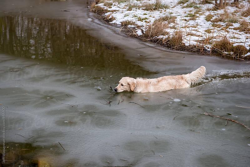 Dog Swimming  in Frozen Creek by Jeff Wasserman for Stocksy United