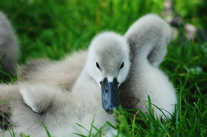 young baby swans called cygnets by rolfo for Stocksy United