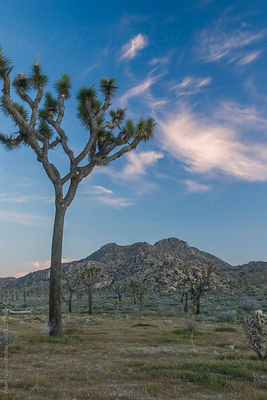 Joshua Tree National Park by Adam Nixon for Stocksy United