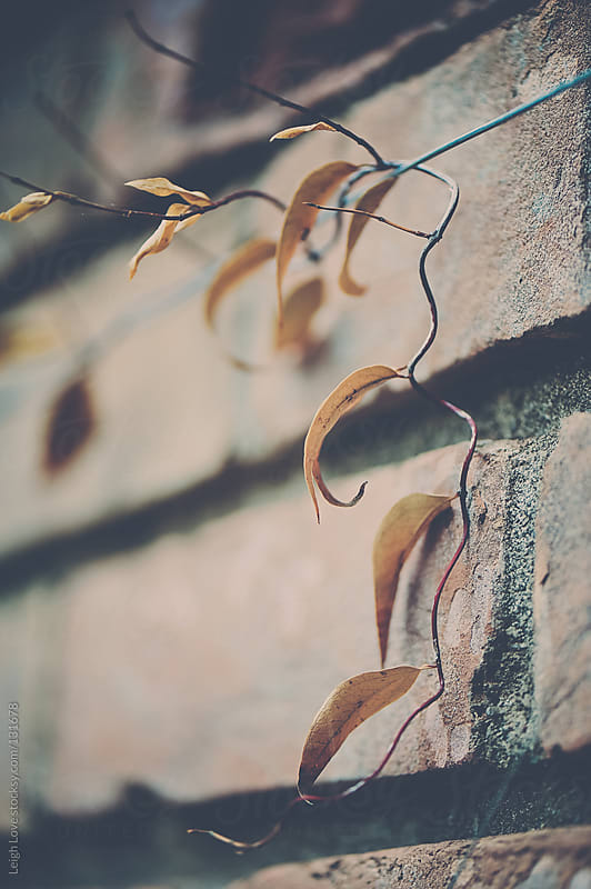 Wispy Vine With Fading Leaves Grows on Brick House by Leigh Love for Stocksy United