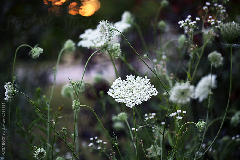 Sunset In A Summer Garden Filled With Queen Anne's Lace by ALICIA BOCK for Stocksy United