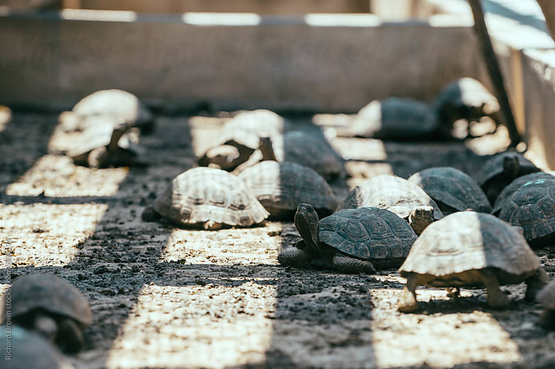 Galapagos Tortoise Incubators by Richard Brown for Stocksy United
