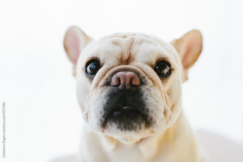 french bulldog by Cameron Zegers for Stocksy United