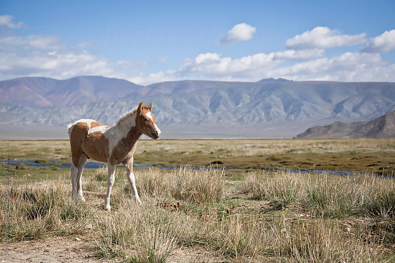 Pony in Mongolia by Diane Durongpisitkul for Stocksy United