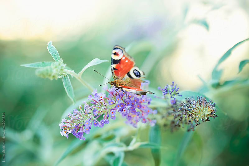 Red, white and black butterfly standing upon purple Buddleja spiked inflorescence by Laura Stolfi for Stocksy United