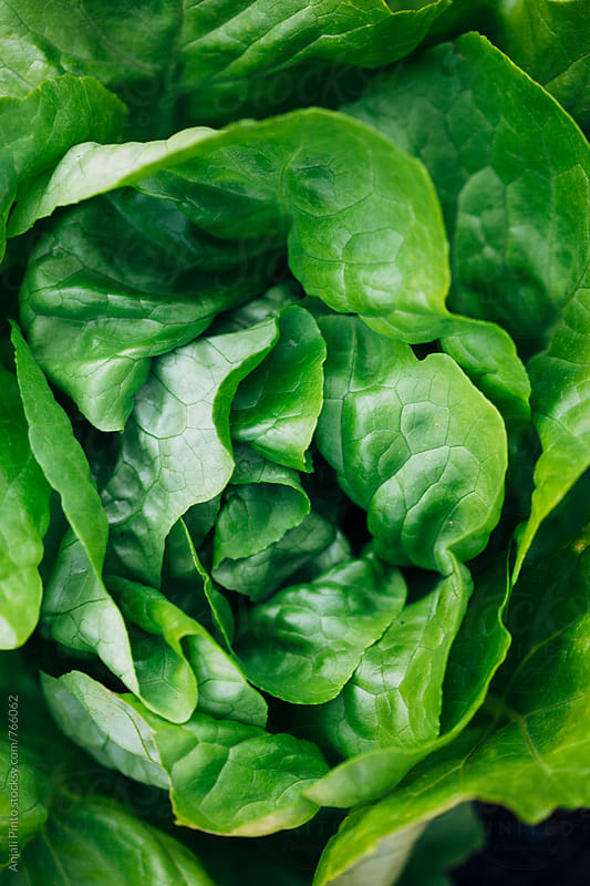 Head of Lettuce by Anjali Pinto for Stocksy United
