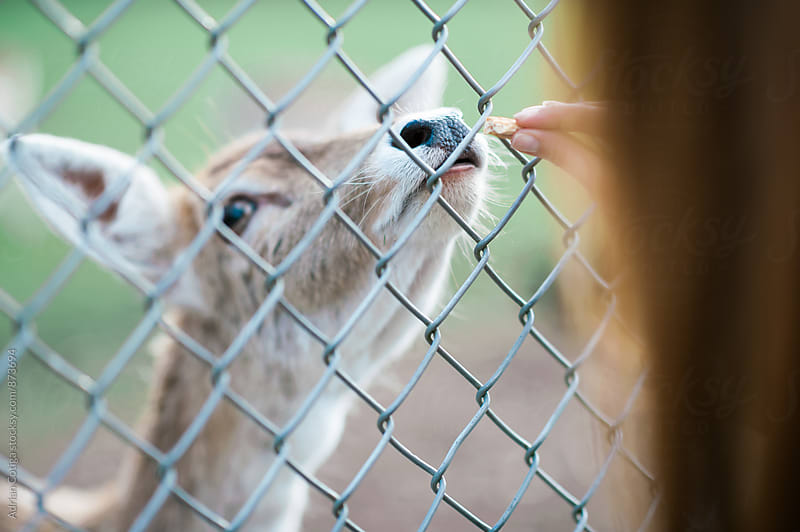Girl feeding a deer  by Adrian Cotiga for Stocksy United