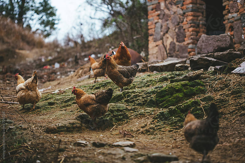 Chinese yellow chicken in a village by zheng long for Stocksy United