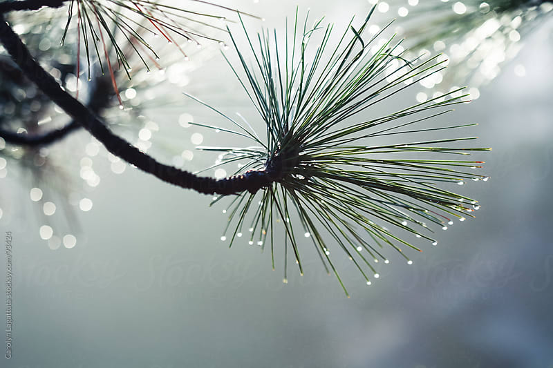 Pine tree filled with dropets as the sun rises by Carolyn Lagattuta for Stocksy United