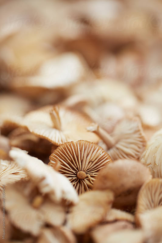 Close up of fresh scotch bonnet mushrooms by Miquel Llonch for Stocksy United