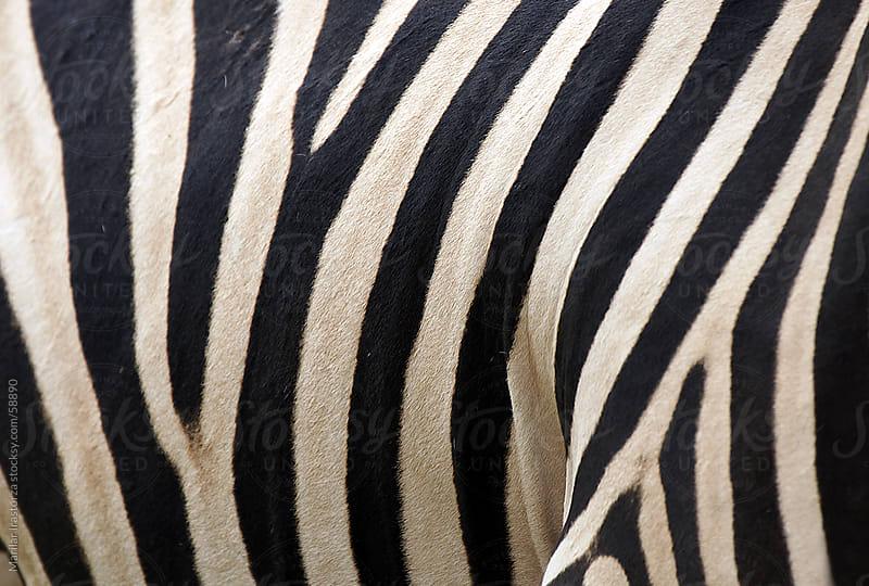 Zebra skin by Marilar Irastorza for Stocksy United