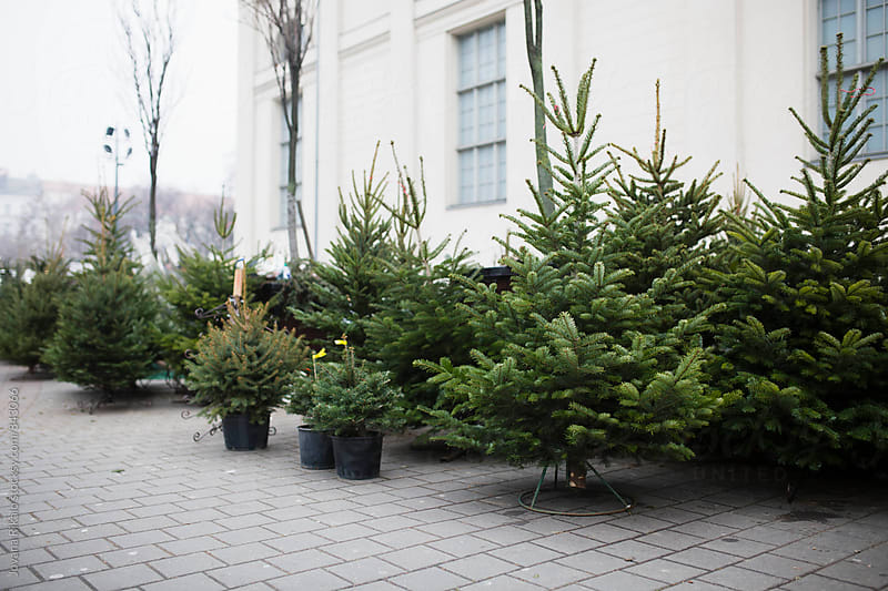 Christmas trees for sale by Jovana Rikalo for Stocksy United