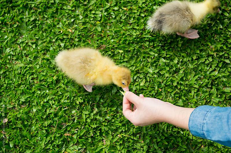 Feeding two little goslings on green grass by Lawren Lu for Stocksy United