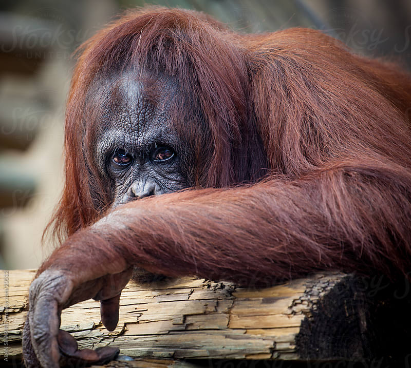 orangutan checking me out by alan shapiro for Stocksy United