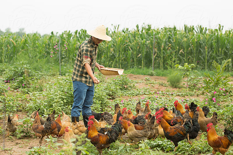 Young male farmer feeding chickens by Maa Hoo for Stocksy United