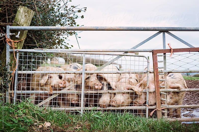 Pigs with their noses pushed up against a gate by Suzi Marshall for Stocksy United