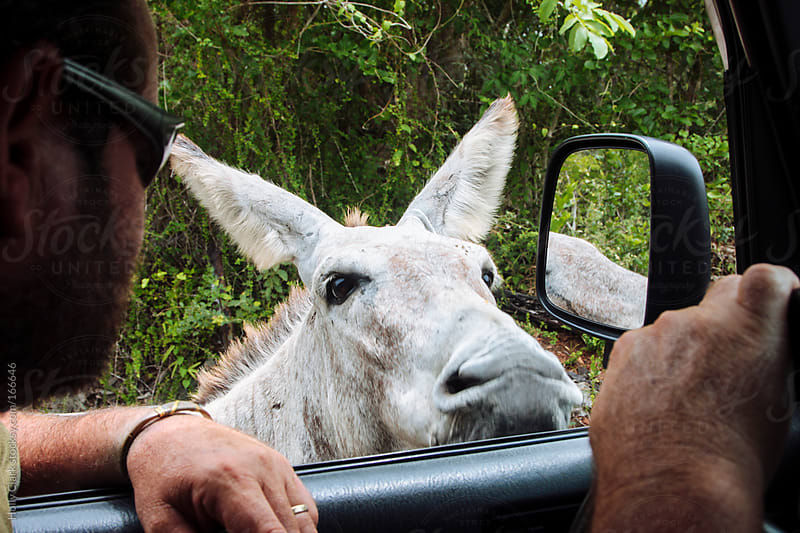 A man pulls up beside one of the many donkeys on the island of S by Holly Clark for Stocksy United