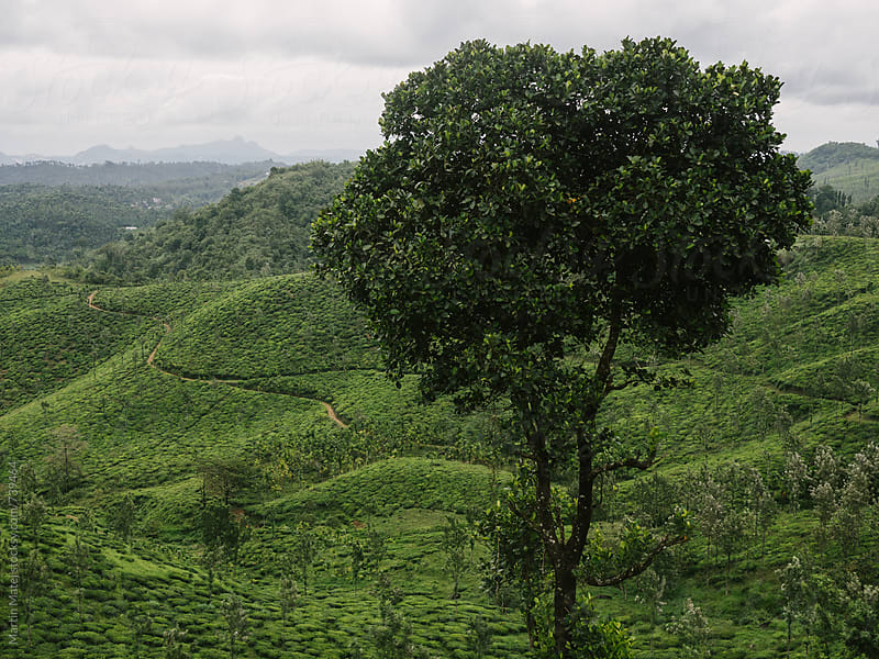 Tree above Tea Plantation  by Martin Matej for Stocksy United