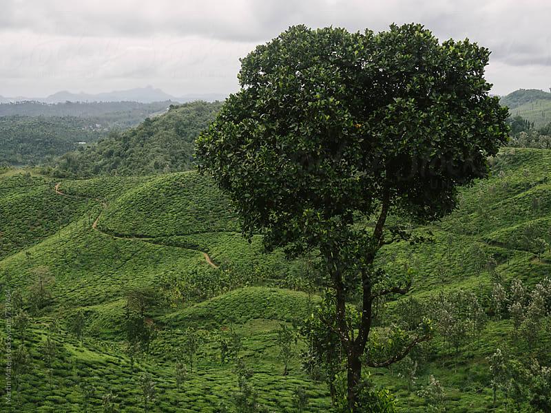 Tree above Tea Plantation  by Martin Matej for Stocksy United