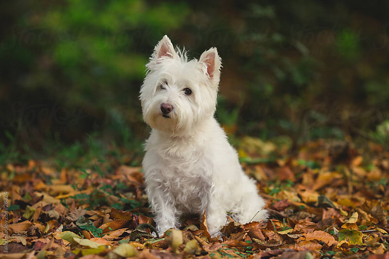 A cute white dog standing in a bed of leaves by Jakob for Stocksy United