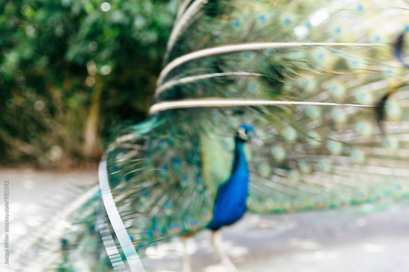 Defocused male peacock displaying his feathers during courtship by Jacqui Miller for Stocksy United