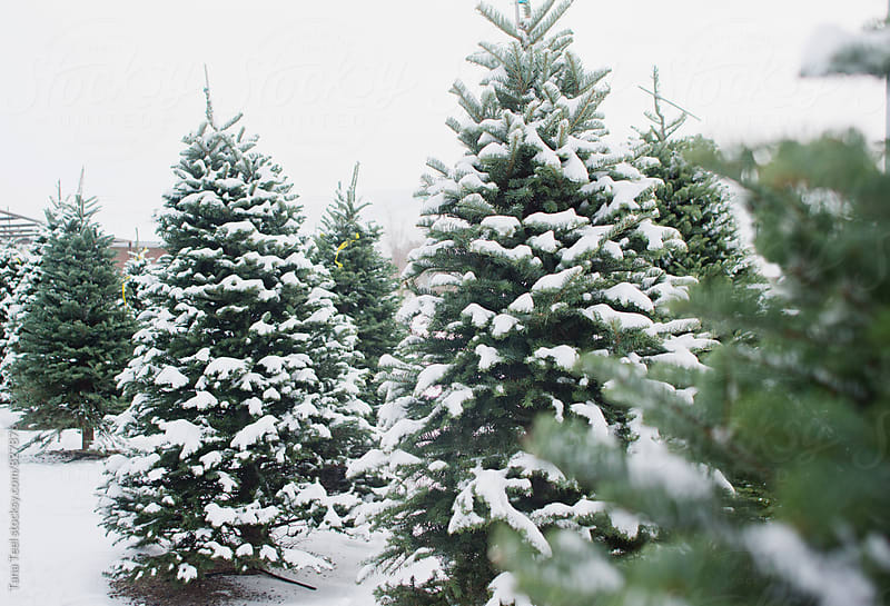 Snow covered Christmas trees by Tana Teel for Stocksy United