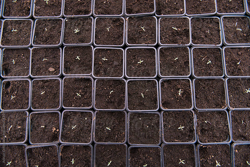 Seedlings in pots; Rows of Potted Seedlings and Young Plants in Greenhouse by Adrian Cotiga for Stocksy United