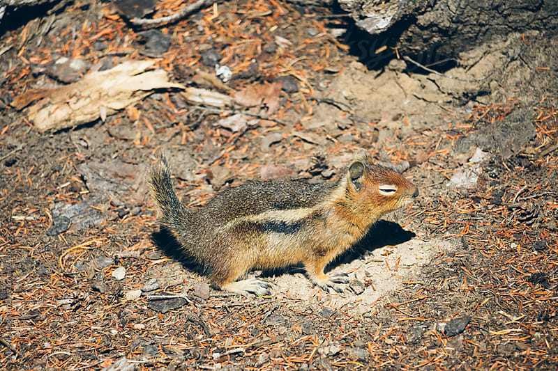 Unimpressed Chipmunk by Luke Mattson for Stocksy United