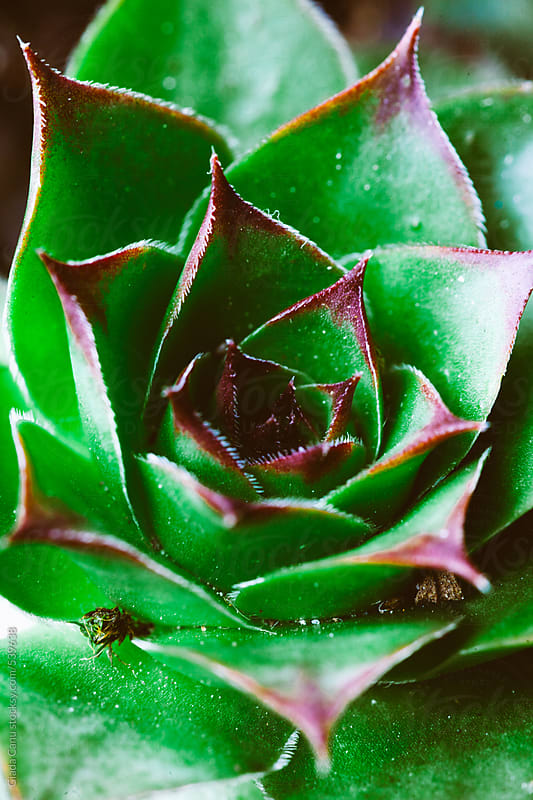 Succulent plant by Giada Canu for Stocksy United