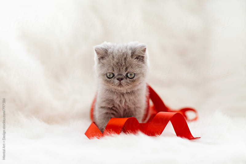 Kitten and Ribbon by Mental Art + Design for Stocksy United