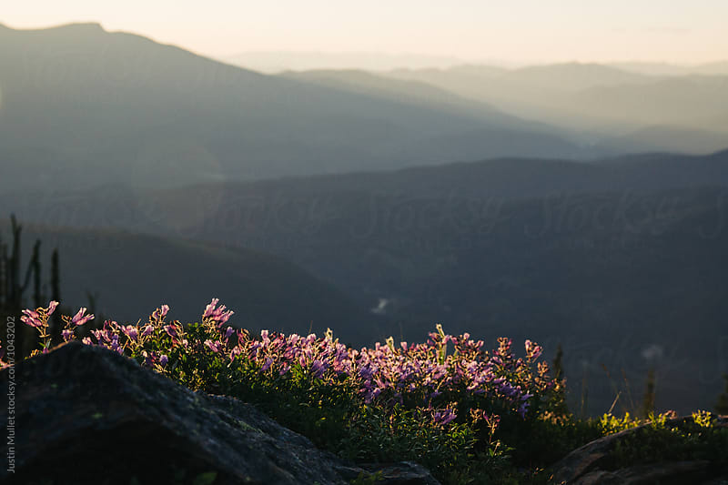 Pink flowers at sunset on a mountain by Justin Mullet for Stocksy United
