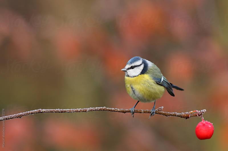 Blue tit and crab apple by Marcel for Stocksy United
