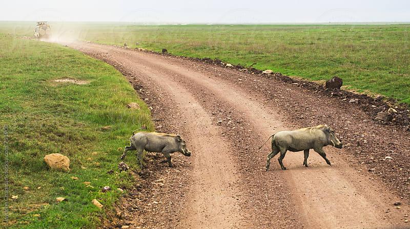 Wild Wart hogs crossing a road by Jaydene Chapman for Stocksy United