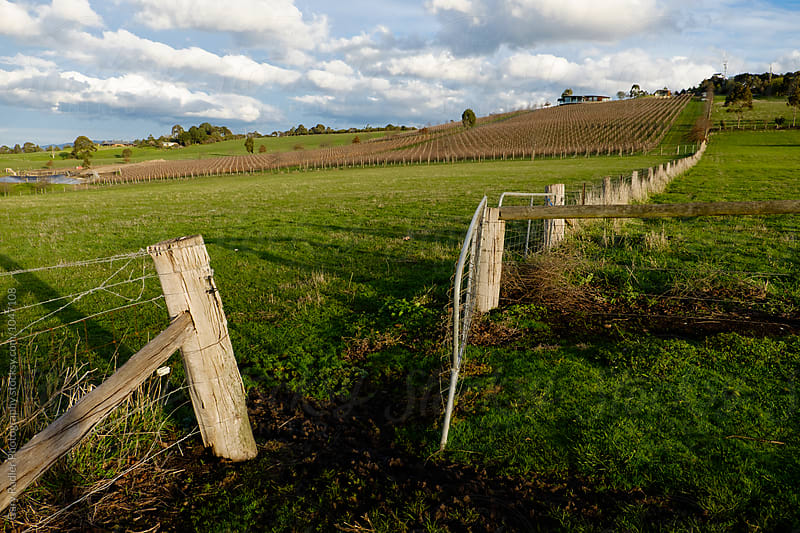 Vineyard in the Distance at Kangaroo Ground in the Yarra Valley by Gary Radler Photography for Stocksy United