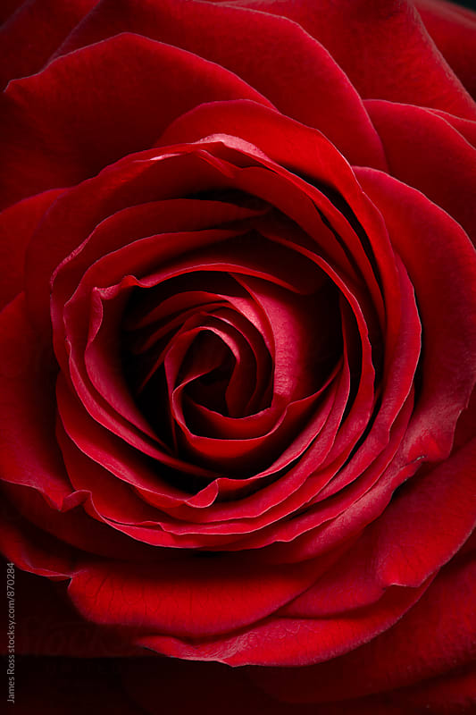 A single red rose in  close up by James Ross for Stocksy United