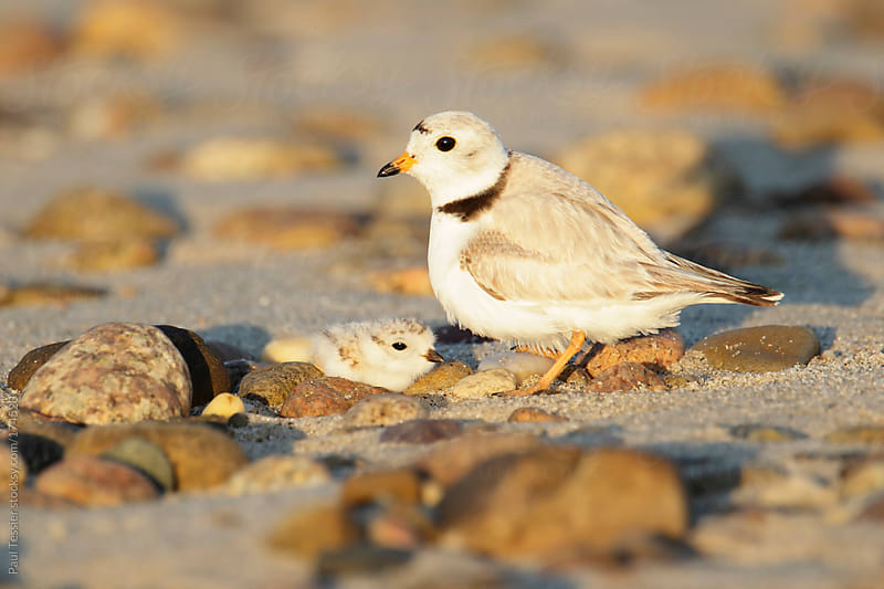 Piping Plover and Chick by Paul Tessier for Stocksy United