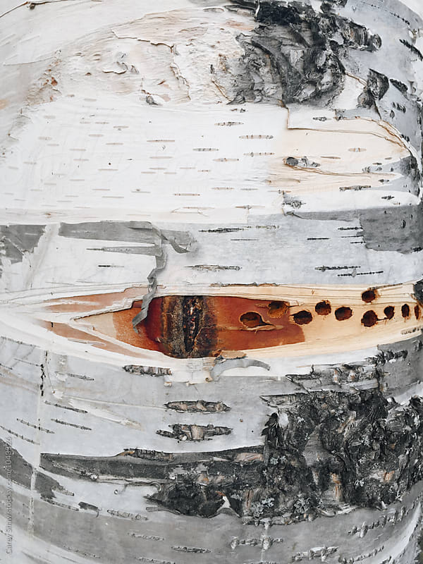 Detail of white birch tree by Carey Shaw for Stocksy United