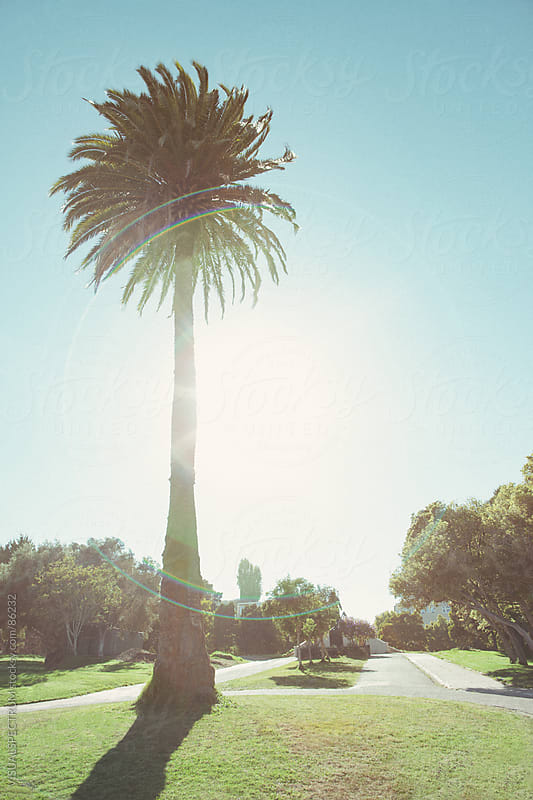 Palm Tree in Park by VISUALSPECTRUM for Stocksy United