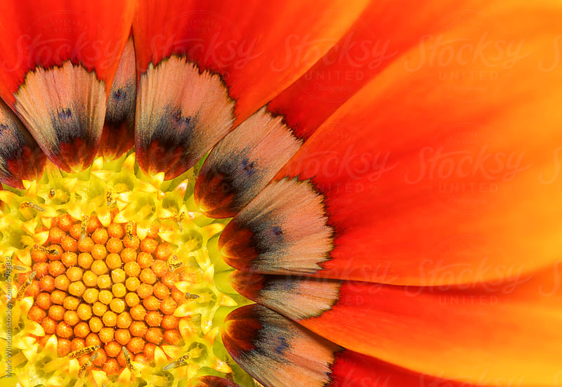 Closeup photograph of a reddish-orange gazania flower by Mark Windom for Stocksy United